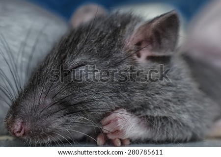 sleeping rat - stock photo