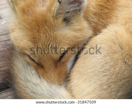 Sleeping red fox covering its nose with its tail