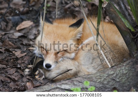 sleeping red fox curled up in ball