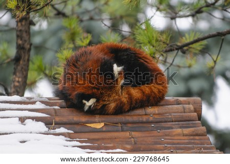Sleeping Red Panda on a bamboo rooftop - stock photo