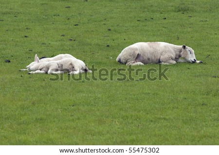 sleeping,resting sheep on a meadow - stock photo