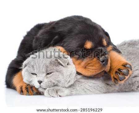 Sleeping rottweiler puppy hugging cute kitten. Isolated on white background - stock photo