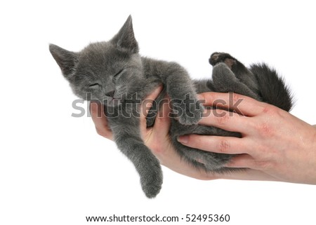 Sleeping Russian Blue kitten - stock photo