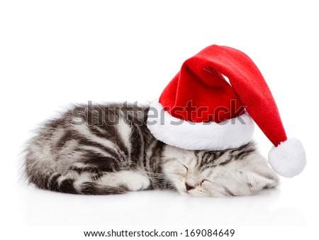 sleeping scottish kitten with santa hat. isolated on white background - stock photo