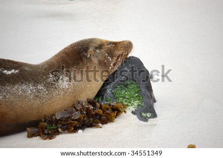 Sleeping Sea Lion in Galapagos Islands - stock photo