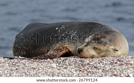 Sleeping sea-lion on the shore - stock photo