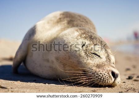 Sleeping Seal - stock photo