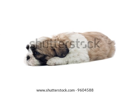 sleeping shih tzu dog isolated on a white background