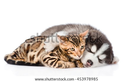 Sleeping Siberian Husky puppy hugs bengal kitten. isolated on white background