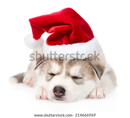 sleeping Siberian Husky puppy with santa hat. isolated on white background