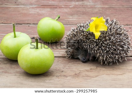Sleeping small hedgehog with flower in thorns and green apples on the wooden table - stock photo