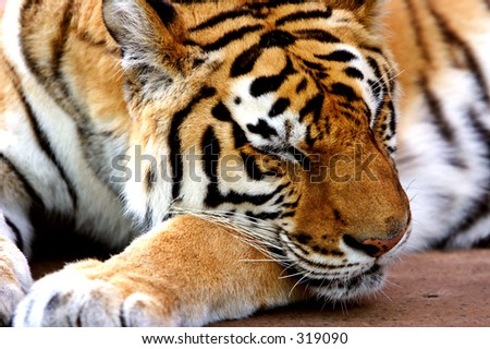 Sleeping Tiger Stock Photo 319090 - Shutterstock