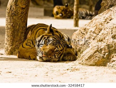 Sleeping tiger - stock photo
