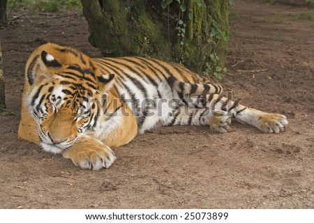 Sleeping tiger photograph from tubercule - stock photo