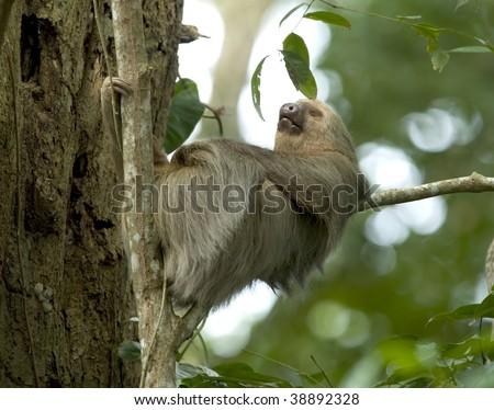 sleeping two toe sloth in tree, cahuita, costa rica, central america - stock photo