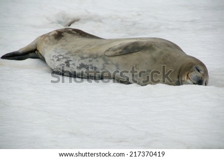 Sleeping Weddell seal, Deception Island, Antarctica