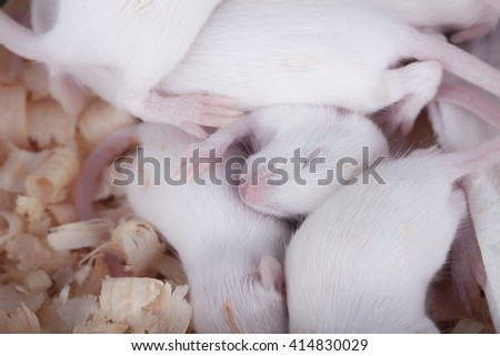 Sleeping white rats on wooden chips in close-up