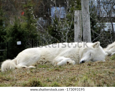 Sleeping Wolf - stock photo
