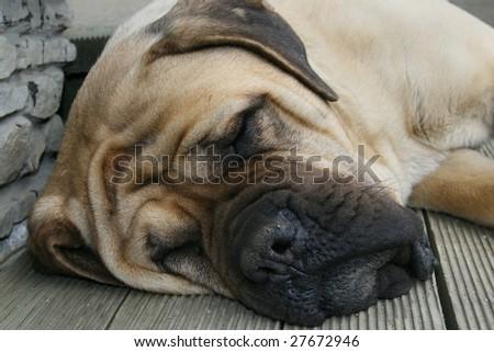 Sleepping mastiff dog - stock photo