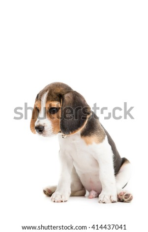 Sleepy beagle puppy on isolated background