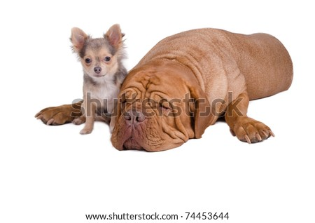 Sleepy big dogue de bordeaux and small chihuahua puppy - stock photo