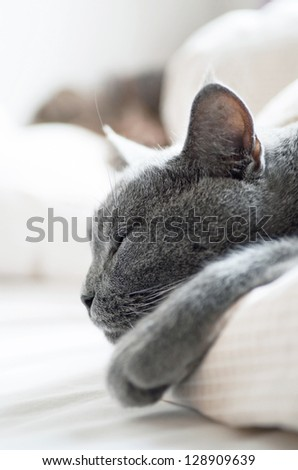 Sleepy British shorthair cat - stock photo