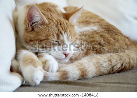 Sleepy brown cat - stock photo