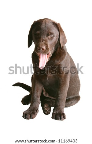 Sleepy Chocolate Labrador Puppy - stock photo