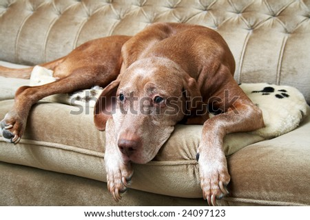 Sleepy dog on a couch - stock photo