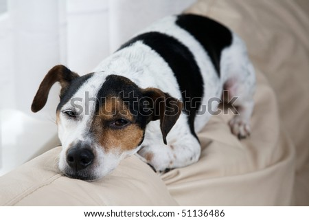 Sleepy dog sits on top of a sofa by the window and waits for his owner to come home - stock photo