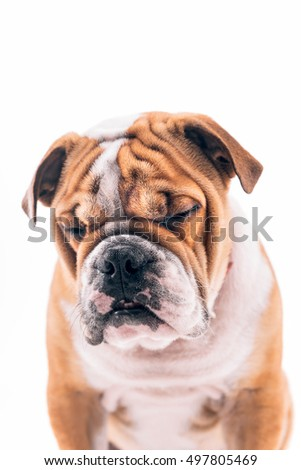 Sleepy English bulldog pup on white background