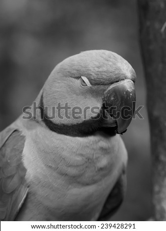 Sleepy Green Ringneck Parrot in Black and White - stock photo