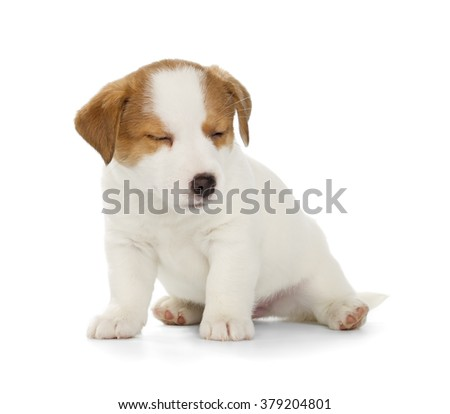 Sleepy Jack Russell Terrier puppy isolated on white background. Front view, sitting.