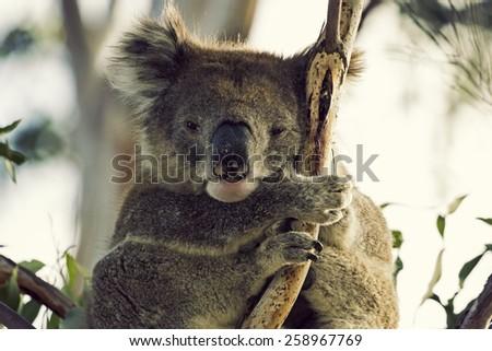 Sleepy koala on the tree. Victoria, Australia - stock photo