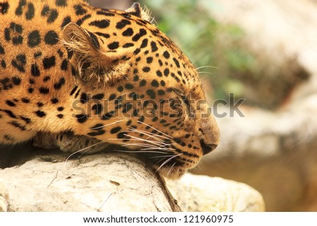 Sleepy Leopard - stock photo