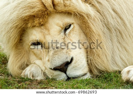 sleepy looking white lion with his face on the ground - stock photo