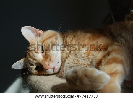 Sleepy orange and white striped tabby cat with green eyes and black-background with copy space