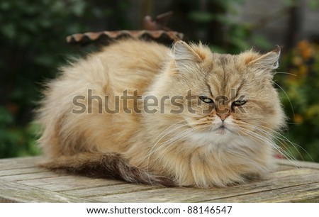 sleepy persian cat - stock photo