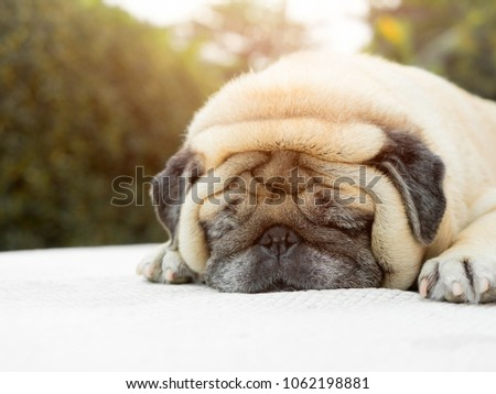 Puggy dog stock images royalty free images vectors shutterstock sleepy pug dog lazy dog fell sleepy thecheapjerseys Gallery