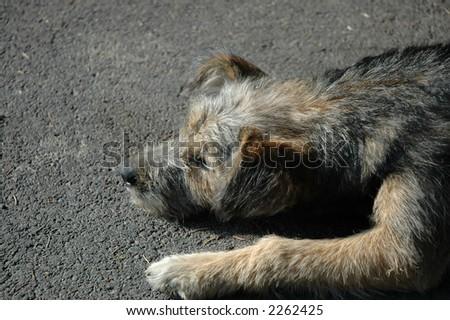 sleepy puppy - stock photo