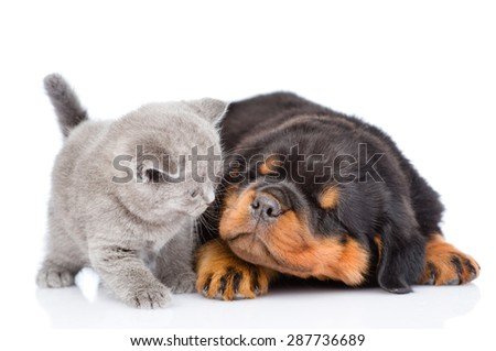 Sleepy rottweiler puppy and scottish kitten. Isolated on white background - stock photo