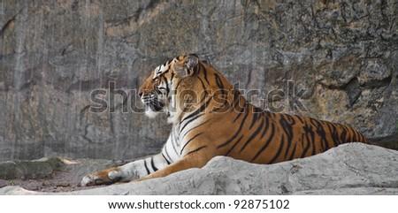 Sleepy Siberian Tiger resting in a zoo - stock photo