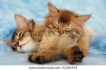 sleepy somali kittens take a nap - stock photo