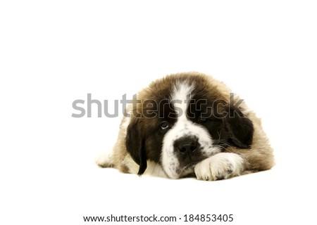 Sleepy St Bernard puppy laid isolated on a white background - stock photo