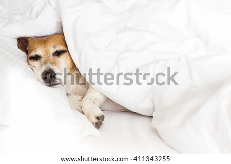 Sleepy sweet dog on white soft comfortable bed, pillow covers and bed sheet. Leisure petfriendly ( dogfriendly ) hotel. Don't worry be happy!
