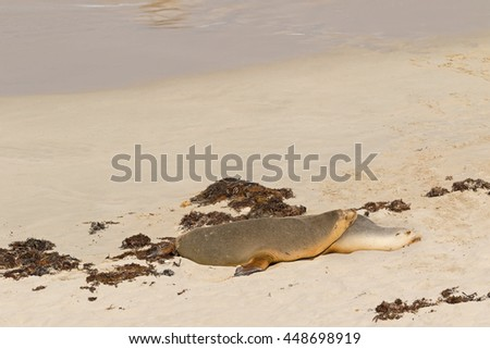 Sleepy time for Australian Sea Lion resting on warm sand at Seal Bay, their colony on south coast of Kangaroo Island, South Australia - stock photo