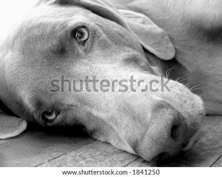 sleepy weim - stock photo