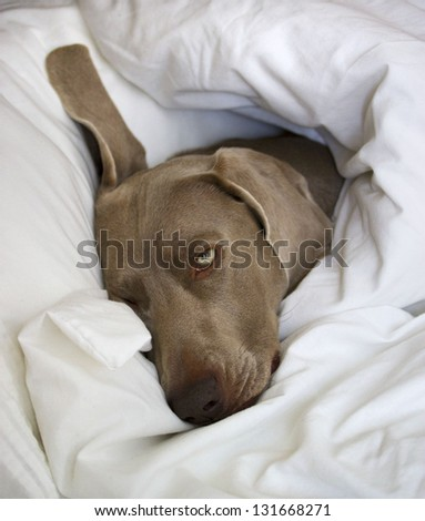 Sleepy Weimaraner Dog - stock photo