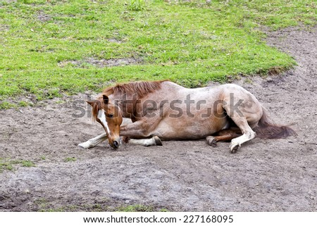 sleepy young horse lying down in a sand pit with green grass at the edge  - stock photo