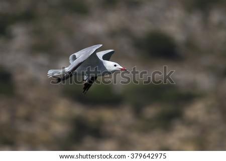 Slender billed Gull / Chroicocephalus genei  - stock photo